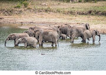 Trinken, herde, Damm, Elefanten
