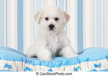 Bichon Frise puppy - Two months old Pure breed Bichon Frise...