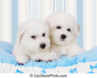 Bichon Frise puppies - Two Pure breed Bichon Frise puppies...