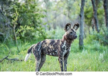 Starring African wild dog. - Starring African wild dog in...