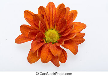 young orange  chrysanthemum flower isolated on white