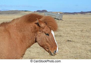 Beautiful Chestnut Icelandic Horse in a Field