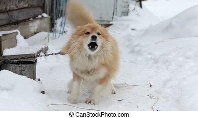 Barking chained dog in winter garden on snow - Barking...