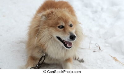 Playful dog on chain runnig and jumping on snow, winter...