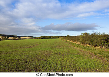 wheat field and hedgerow - a young wheat crop beside a...