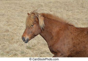 Chestnut Icelandic Horse in a iceland Hay Field