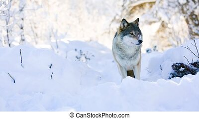 Wolf stands in beautiful winter forest - One wolf standing...
