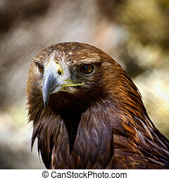 Tawny Eagle - Photo of the Tawny Eagle (Aquila rapax)