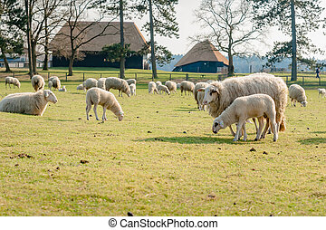 Sheep with young lambs in meadow