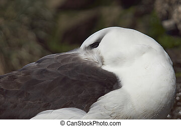 Black-browed Albatross (Thalassarche melanophrys) with its...