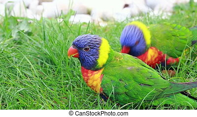Rainbow Lorikeet Eating Grass - Couple of Rainbow Lorikeet...