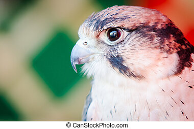 Portrait of American Kestrel (Falco sparverius)