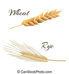 wheat and rye ears - Wheat and rye ears. Vector illustration...
