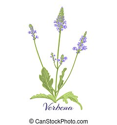 verbena - Flowering herb verbena or vervain. Vector...