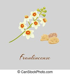 Fankincense - Boswellia tree flowers. Fankincense. tree...