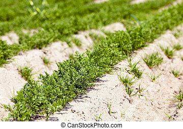 sprouts carrots. field - the field of agriculture, which...