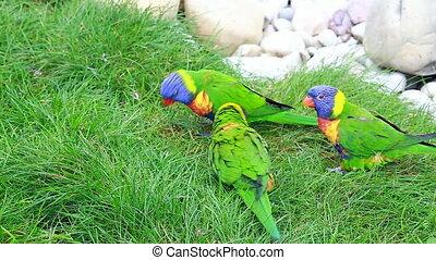 Three Rainbow Lorikeet Eating Grass - Three Rainbow Lorikeet...