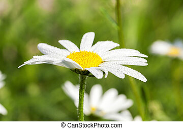 camomile flower close-up - photographed close-up daisy...