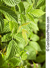 green raspberry leaves - photographed close-up of raspberry...