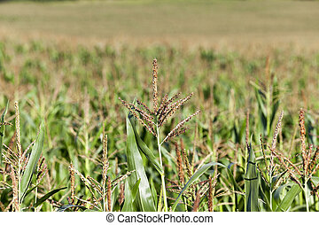 Field with corn - an agricultural field, which is growing...