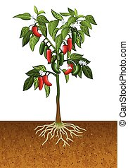 Jalapeno pepper plant - Vector illustration of Jalapeno...