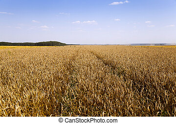 agricultural field of cereals - close up agricultural field...