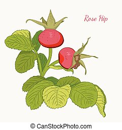 Rose hip wild red berries dog rose isolated - Rose hip wild...