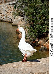 Goose at the waters edge, Sissi. - White goose on the edge...