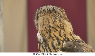 Owl Rotates and Look - Portrait of an owl rotating her head...