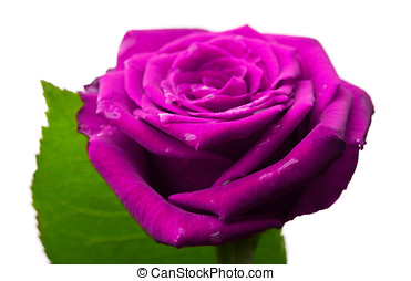 beautiful purple rose isolated on a white background