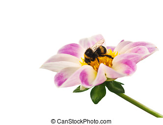 bee on flower isolated on white background