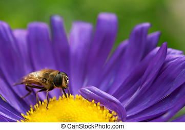 flower and bee - beautiful violet flower and bee