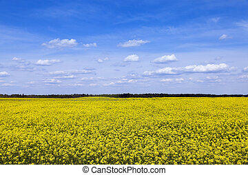 flowering canola. Spring - the agricultural field, which...