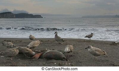 Pacific Gull eating dead seal on the beach stock footage...