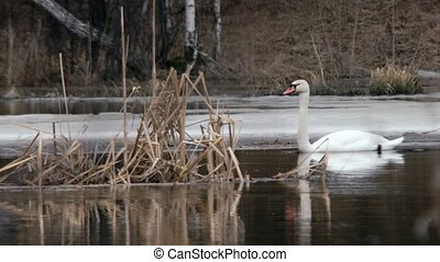 Swan floating in the water over. Russia