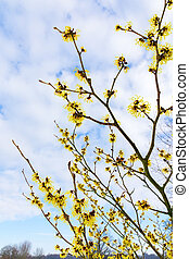 Blooming hazel shrub with yellow flowers in winter -...