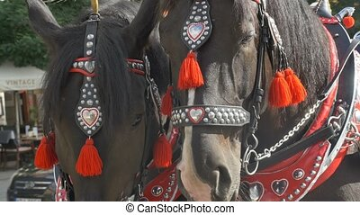 Ornated Horses on Carriage - Portrait of two black horses...