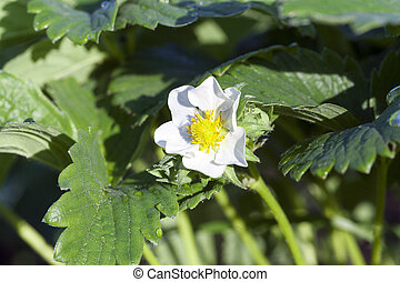 Strawberry flower, close-up - Agricultural field on which...
