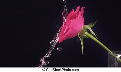 Valentine's Day rose and water splash, slow motion,