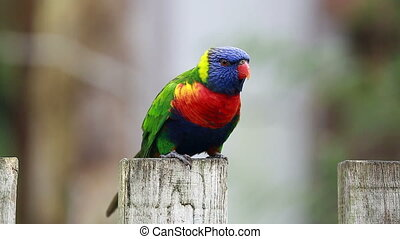 Rainbow Lorikeet Perched on a Wooden Post - Closeup Of...