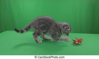 Beautiful little kitten Scottish Fold on Green Screen stock...