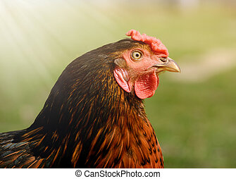 close up portrait of bright colorful hen in a free range on...