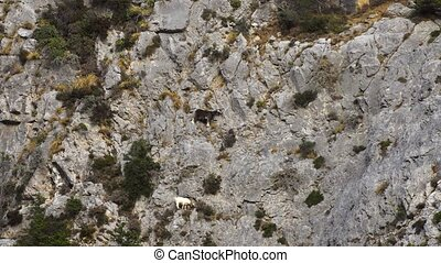 Mountains goats climbing on cliffs - Mountains goats...
