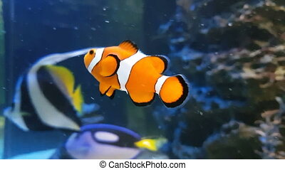 Clownfish or anemonefish stock footage video - Clownfish or...