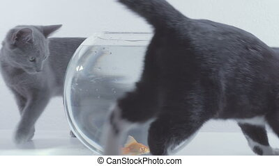 cats want to eat goldfish in an aquarium