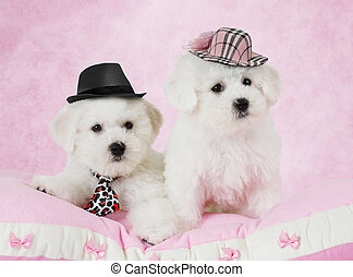 Portrait of two Bichon Frise puppies (two months old) in...