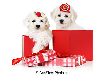 Bichon Frise puppies in a gift box - Adorable Bichon Frise...