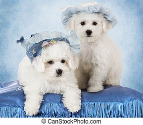 Portrait of Bichon Frise puppies (two months old) in hats in...