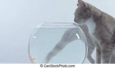 cats want to eat goldfish in an aquarium on a white...