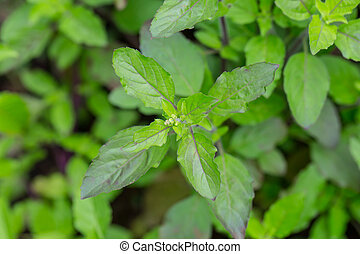 Basil leaf,Home herbal garden with Label, Nontoxic clean...